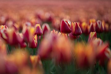 Tulpen von Peter Weideman
