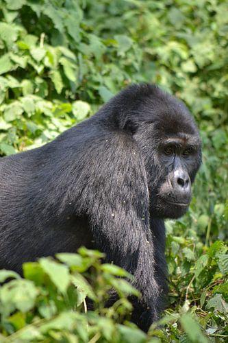 Gorillaportret van