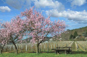 Mandelblüte in der Pfalz von Peter Eckert