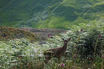 Rehkitz im Glen Etive in Schottland. von Babetts Bildergalerie