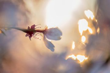 blühende Staubblätter in der Morgensonne von Tania Perneel