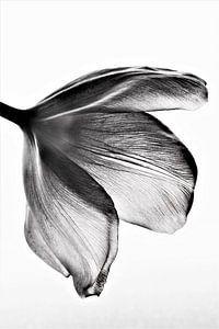 Tulp zwart/wit van