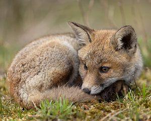 Jong vossenwelp na de regen van Patrick van Bakkum