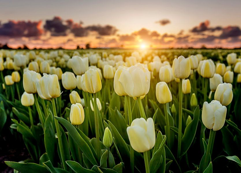Zonsondergang tussen de witte tulpen
