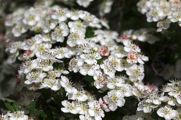Blüten im Frühling von Thomas Jäger