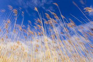 Goud gele riet halmen tegen een Hollandse bewolkte lucht. One2expose Wout Kok Photography.