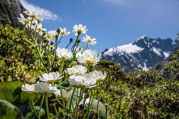 Mount Cook Lilies an der Milford Road, Neuseeland von Christian Müringer