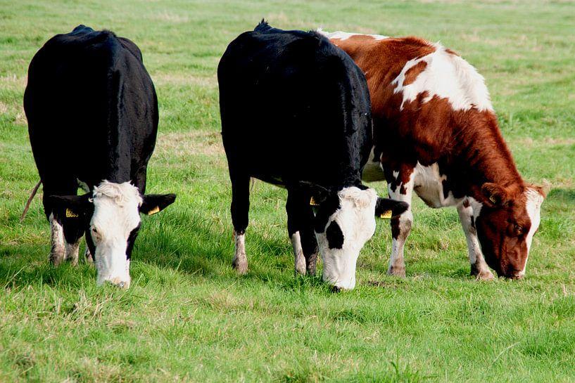 Koeien van Anuska Klaverdijk