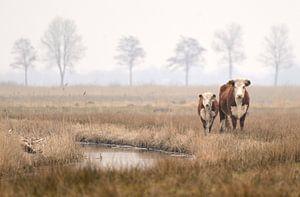 Koe en kalf van