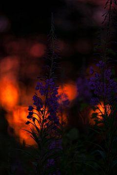 Wilgenroosjes in de zonsondergang in Zweden von Margreet Frowijn
