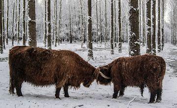 Schotse Hooglanders stoeien in de Sneeuw van Sparkle King