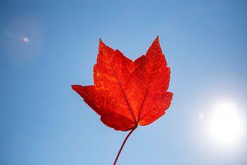 Rood herfstblad tegen een blauwe lucht van Evelien Oerlemans