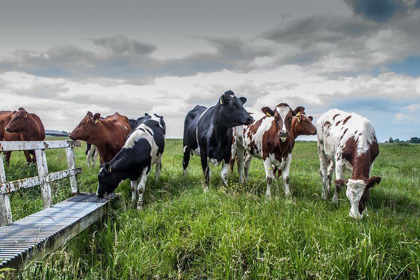 Nieuwsgierige koeien van piet douma
