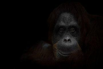Le regard calme et fatigué d'un sage orang-outan roux, le fond sombre est un sage singe. Portrait en sur Michael Semenov