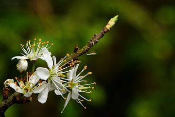 Blüte auf einem Zweig von Gerard de Zwaan