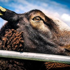 Knappe bruine schapen 9 van Urban Photo Lab