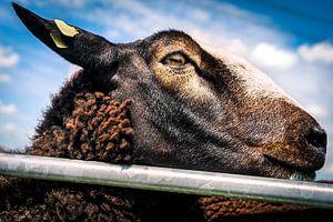 Knappe bruine schapen 9