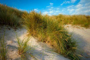 herbe dunaire sur