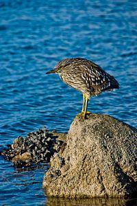 Young black-crowned night-heron on rock von Brenda Gonzalez