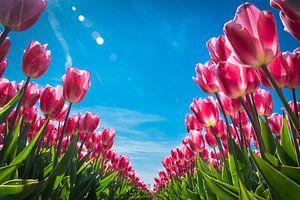 Tulpen in het voorjaar