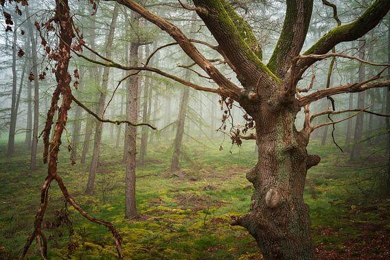 Oude eik in de mist