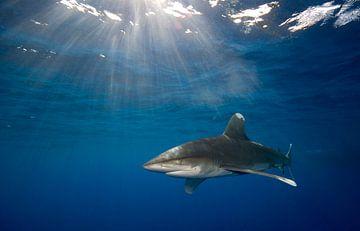 Carcharhinus longimanus van Dray van Beeck
