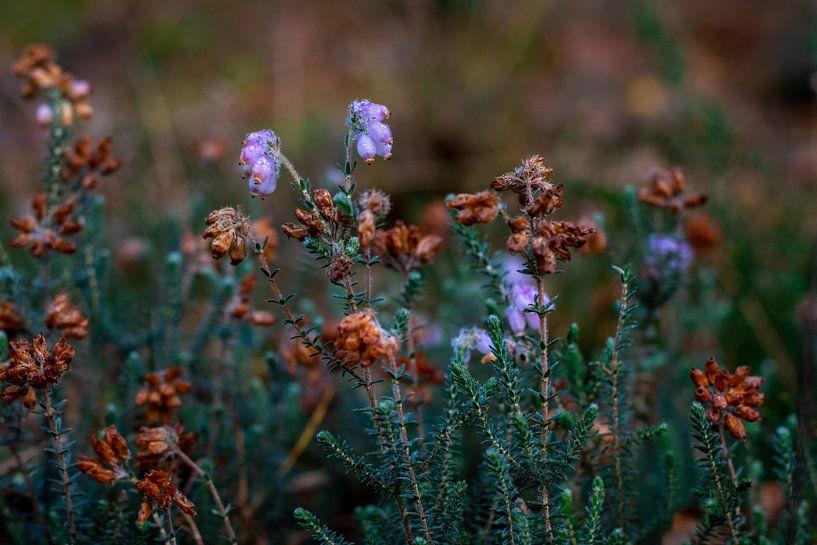 Laatste heide van het jaar aan het begin van de herfst van Andrea de Jong