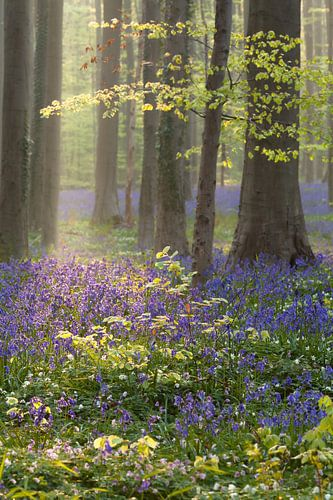 spring in beech forest with blue flowers
