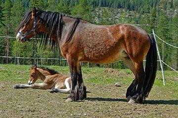 Pferd mit Fohlen von Michael Schreier
