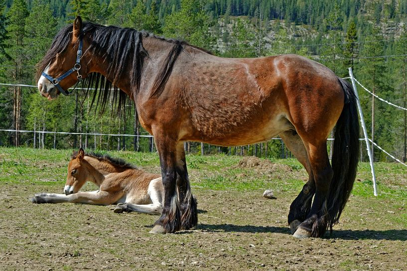 Pferd mit Fohlen van Michael Schreier
