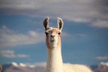 Lama mit dem bolivianischen Altiplano im Hintergrund von A. Hendriks