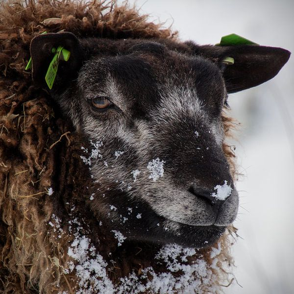 Schwarzes Schaf von Ton van Waard - Pro-Moois