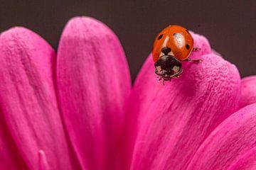 Lieveheersbeestje opeen gerbera. van Erik de Rijk