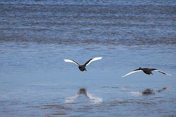Landung schwarzer und weißer Schwäne mit Spiegelung im Meer von Lau de Winter