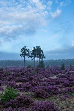Heide veld Utrechtse heuvelrug Den Treek Amersfoort van Peter Haastrecht, van