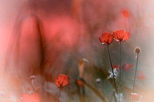 Akkerbloemen in rood van