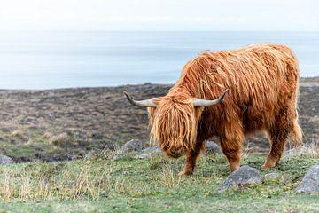 Schotse Hooglander, grazend nabij Applecross van Pascal Raymond Dorland