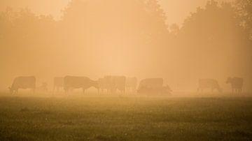 Koeien tijdens een mistige zonsopkomst sur