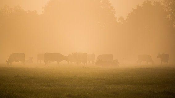 Koeien tijdens een mistige zonsopkomst
