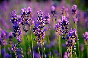 Lavendel in bloei