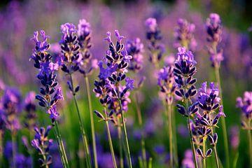 Lavendel in bloei von