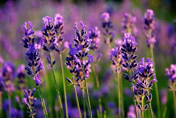 Lavendel in bloei van  PvdH Fotografie