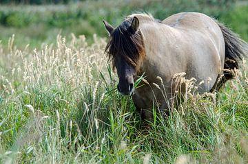 Konikpaard Lentevreugd Natuurgebied Wassenaar van