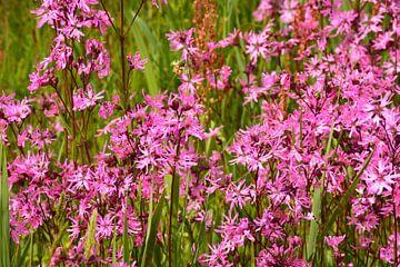 Koekoeksbloemen in weiland van Maurice Kruk