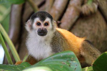 Doodshoofdaapje Costa Rica van Berg Photostore