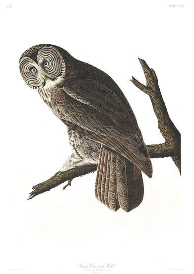 Laplanduil van Birds of America