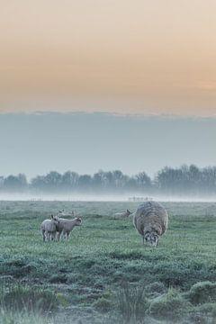Lämmer auf der Weide von Rossum-Fotografie
