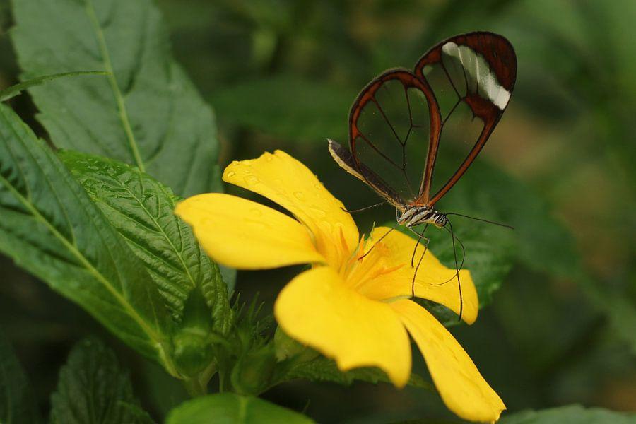 The-Transparent Butterfly (rechthoek) van Cornelis (Cees) Cornelissen