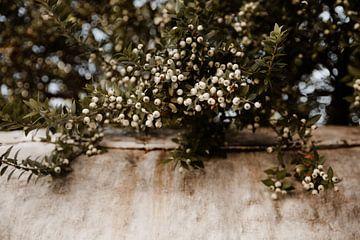 Rhodosblüte von Isis Sturtewagen