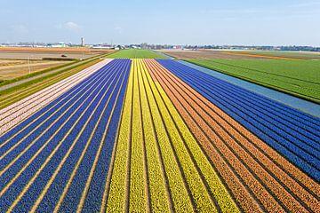 Luftaufnahme von blühenden Tulpenfeldern bei Lisse in den Niederlanden von Nisangha Masselink